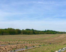 Plantage Valea lui Mihai 04/2018 nach dem letzten Rückschnitt