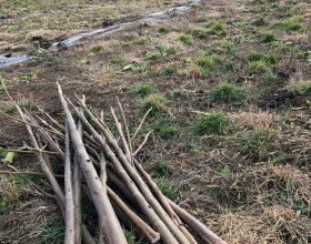 Letzter Rückschnitt Plantage Valea lui Mihai im Frühjahr 2018