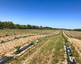 Plantage Valea lui Mihai 05.2018 – die KiMaX Bäume beginnen zu wachsen nach dem letzten Rückschnitt