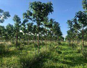 Plantage Sacadat im Juni 2018